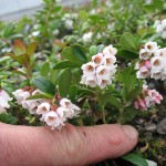 lingon vaccinium vitis-idaea